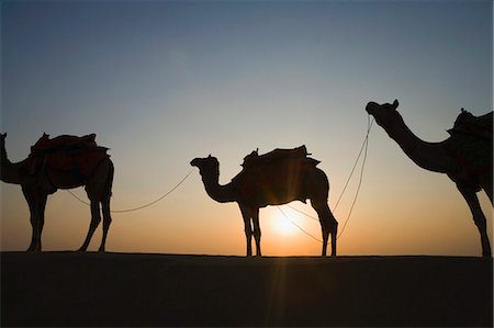 rajasthan camel - Silhouette of three camels standing in a row, Jaisalmer, Rajasthan, India Stock Photo - Premium Royalty-Free, Code: 630-03479126