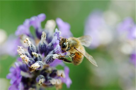 Bee gathering pollen on lavender Stock Photo - Premium Royalty-Free, Code: 632-05759600