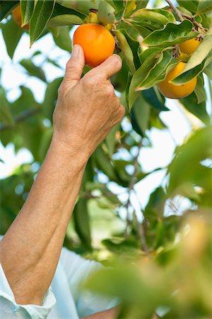 single fruits tree - Senior woman picking persimmon from tree Stock Photo - Premium Royalty-Free, Code: 632-06317665