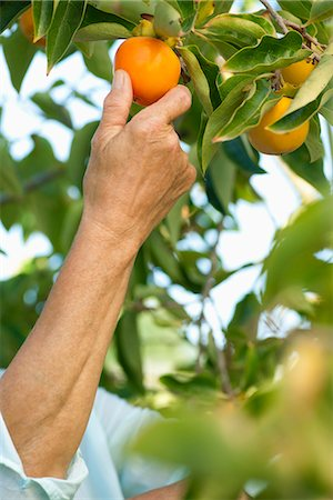 Senior woman picking persimmon from tree Stock Photo - Premium Royalty-Free, Code: 632-06317665