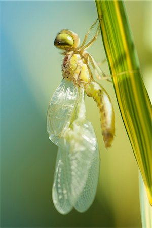 dragon fly - Newly emerged dragonfly drying its wings on blade of grass Stock Photo - Premium Royalty-Free, Code: 632-07161385