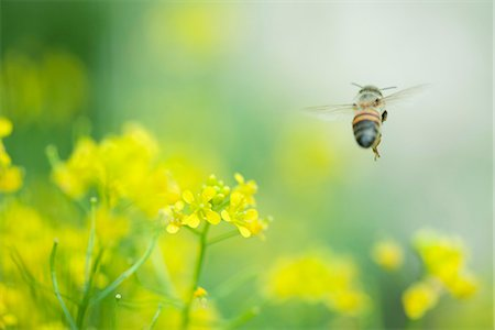 Bee hovering over flowers Stock Photo - Premium Royalty-Free, Code: 632-07161388