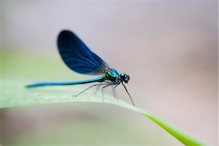 Blue dragonfly resting on blade of grass Stock Photo - Premium Royalty-Free, Code: 632-07161397