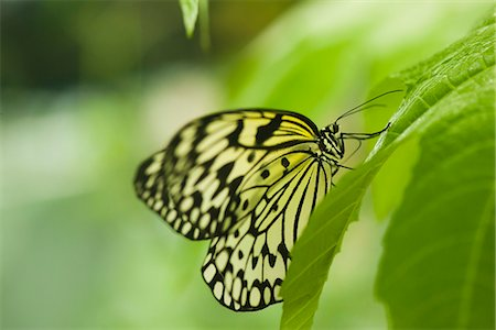 Paper kite butterfly (Idea leuconoe) Stock Photo - Premium Royalty-Free, Code: 632-07161392