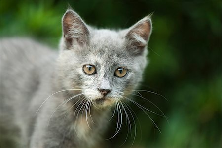 Kitten, portrait Stock Photo - Premium Royalty-Free, Code: 632-07161587