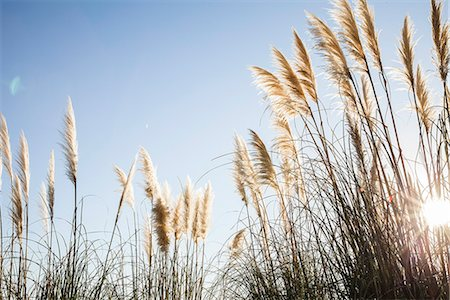 fluffy - Pampas grass backlit by sun Stock Photo - Premium Royalty-Free, Code: 632-08698590