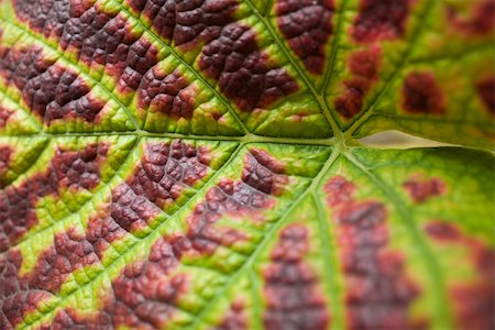 Grape leaf, extreme close-up Stock Photo - Premium Royalty-Free, Code: 632-02690364