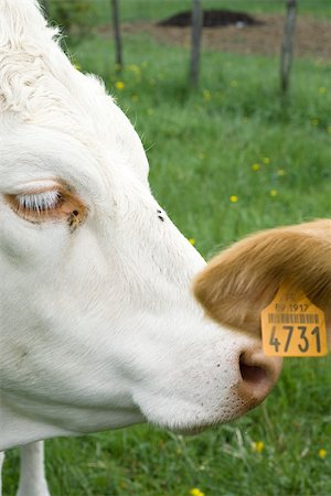 White cow nuzzling another cow's tagged ear, cropped Stock Photo - Premium Royalty-Free, Code: 632-02885093
