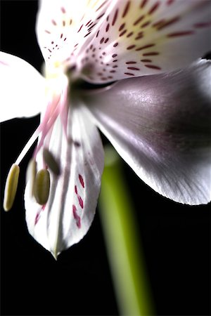 spotted - Alstroemeria lily, extreme close-up Stock Photo - Premium Royalty-Free, Code: 632-03027678