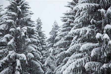 panoramic winter scene - Snow-covered fir trees Stock Photo - Premium Royalty-Free, Code: 632-03847881