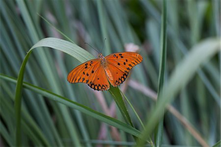 Gulf fritillary butterfly on blade of grass Stock Photo - Premium Royalty-Free, Code: 633-05401824