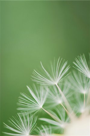 Dandelion seedhead, close-up Stock Photo - Premium Royalty-Free, Code: 633-06322353