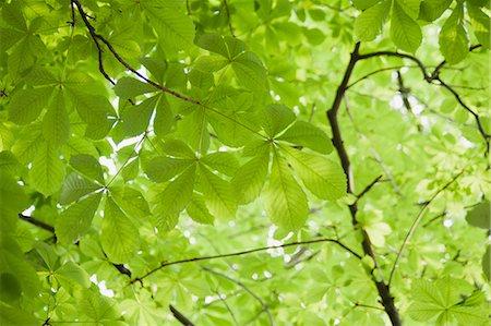 foliage - Chestnut tree foliage, full frame Stock Photo - Premium Royalty-Free, Code: 633-06322551