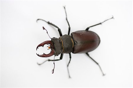Stag beetle Stock Photo - Premium Royalty-Free, Code: 633-06406729