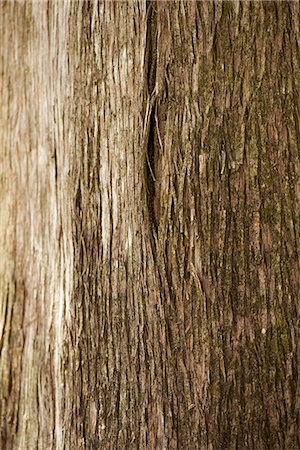 Cedar tree trunk, close-up Stock Photo - Premium Royalty-Free, Code: 633-08150984