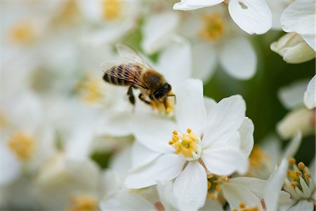 stamen - Bee gathering pollen on white flowers Stock Photo - Premium Royalty-Free, Code: 633-08151045