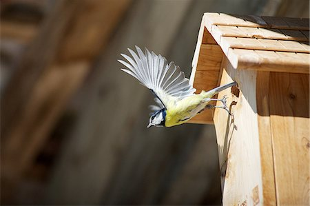 flying bird - Blue tit (Cyanistes caeruleus) flying away from wooden birdhouse Stock Photo - Premium Royalty-Free, Code: 633-08482337