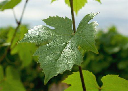 Grape leaf Stock Photo - Premium Royalty-Free, Code: 633-01274649