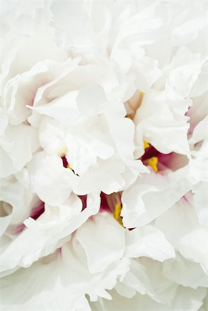 peony backgrounds - White peony, close-up of petals, full frame Stock Photo - Premium Royalty-Free, Code: 633-01837142
