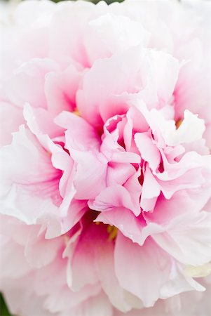 peony backgrounds - Pink peony, close-up of petals, full frame Stock Photo - Premium Royalty-Free, Code: 633-01837143