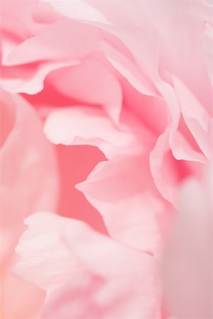 peony backgrounds - Pink peony, close-up of petals Stock Photo - Premium Royalty-Free, Code: 633-01992634