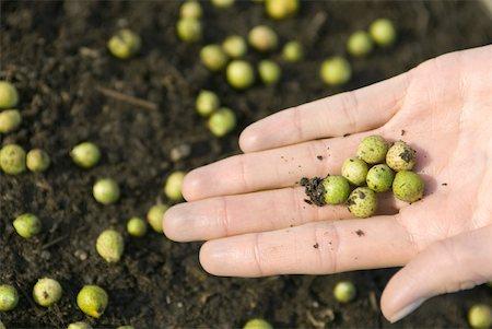 spot (dirt mark) - Hand holding green seeds Stock Photo - Premium Royalty-Free, Code: 633-02065784
