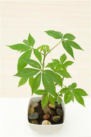 silk floss tree - Potted silk floss tree (Chorisia speciosa), high angle view Stock Photo - Premium Royalty-Free, Code: 633-02065789