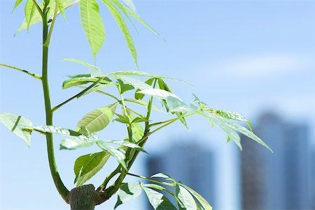 silk floss tree - Silk floss tree (Chorisia speciosa), cropped side view Stock Photo - Premium Royalty-Free, Code: 633-02231727