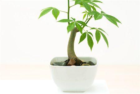 silk floss tree - Potted silk floss tree (Chorisia speciosa), side view Stock Photo - Premium Royalty-Free, Code: 633-02231757
