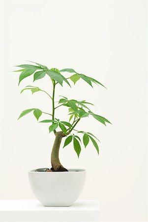 silk floss tree - Potted silk floss tree Stock Photo - Premium Royalty-Free, Code: 633-02345902