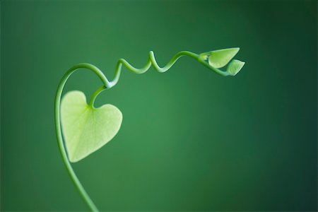 Delicate vine with heart shaped leaves Stock Photo - Premium Royalty-Free, Code: 633-02417429