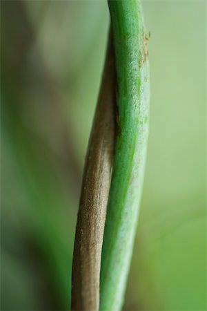 stem - Intertwined stems, close-up Stock Photo - Premium Royalty-Free, Code: 633-02417454