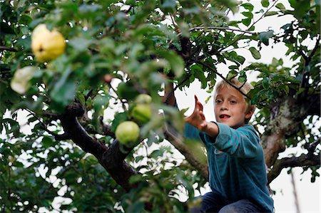 Boy picking fruit in tree Stock Photo - Premium Royalty-Free, Code: 649-05555429