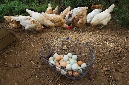 Basket of eggs with feeding chickens Stock Photo - Premium Royalty-Free, Code: 649-05556011