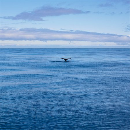 Whale's tail in still ocean Stock Photo - Premium Royalty-Free, Code: 649-05657867