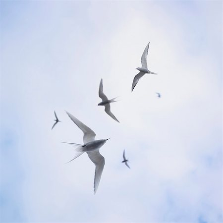 flying bird - Arctic sterns flying in cloudy sky Stock Photo - Premium Royalty-Free, Code: 649-05657875
