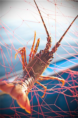Lobster caught in fishing net Stock Photo - Premium Royalty-Free, Code: 649-05819606