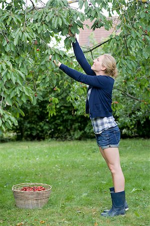 single fruits tree - Woman picking cherries in orchard Stock Photo - Premium Royalty-Free, Code: 649-05819812