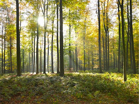 Sun shining through trees in forest Stock Photo - Premium Royalty-Free, Code: 649-05820053