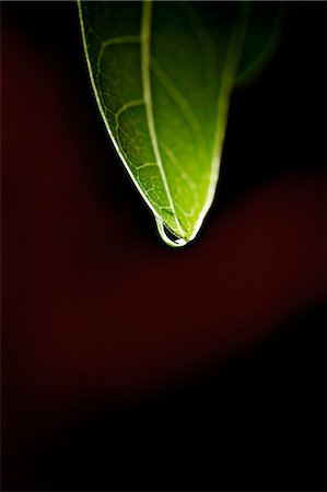 dripping silhouette - Close up of water droplet on leaf Stock Photo - Premium Royalty-Free, Code: 649-05820773