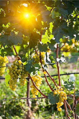 sun - Close up of grapes on vine in vineyard Stock Photo - Premium Royalty-Free, Code: 649-05951119