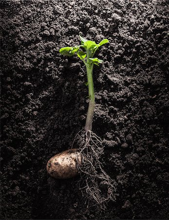 sprout - Potato with roots and leaves in dirt Stock Photo - Premium Royalty-Free, Code: 649-06040087