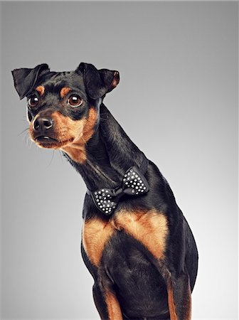 dogs in nature - Dog wearing bow tie Stock Photo - Premium Royalty-Free, Code: 649-06113616