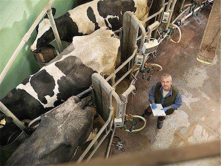 farming (raising livestock) - Farmer working in milking parlor Stock Photo - Premium Royalty-Free, Code: 649-06164955