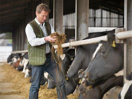 farming (raising livestock) - Farmer feeding cows in barn Stock Photo - Premium Royalty-Free, Code: 649-06164976