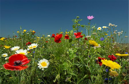 Wildflowers growing in rural field Stock Photo - Premium Royalty-Free, Code: 649-06353011