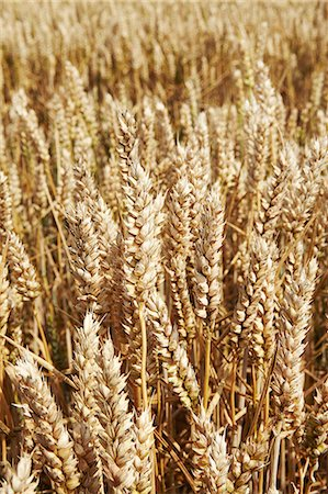 Close up of tall wheat stalks Stock Photo - Premium Royalty-Free, Code: 649-06353287