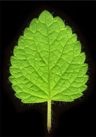 Close up of mint leaf Stock Photo - Premium Royalty-Free, Code: 649-06400894