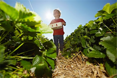 fresh - Boy picking strawberries in field Stock Photo - Premium Royalty-Free, Code: 649-06401299