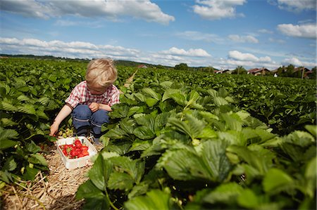 farm and boys - Boy picking strawberries in field Stock Photo - Premium Royalty-Free, Code: 649-06401292